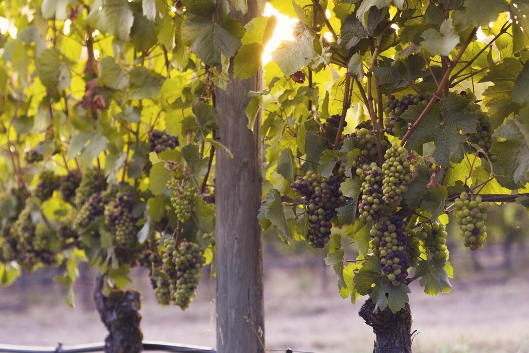 wijn druiven